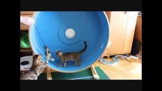 бенгальские котята игра. Bengal kitten play