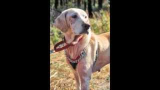 This Video Previously Contained A Copyrighted Audio Track. Due To A Claim By A Copyright Holder, The Audio Track Has Been Muted.     Cali, A 6-year-old Yellow Labrador Retriever Needs 501(c)(3) Rescue From Manahawkin, Nj