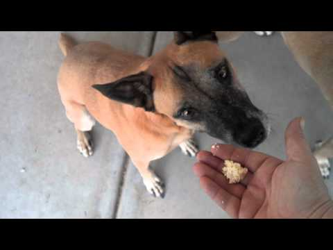 Belgian Malinois dogs wait to eat a treat on command for owner