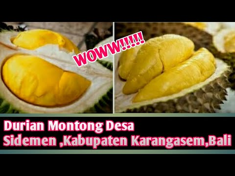 Panen  Durian Montong ditanam dipekarangan Rumah asli Desa Sidemen, kabupaten Karangasem,Bali