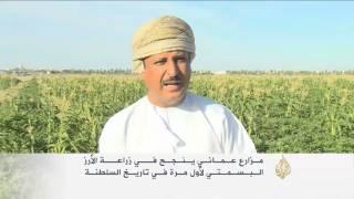 مزارع عُماني ينجح في زراعة الأرز البسمتي