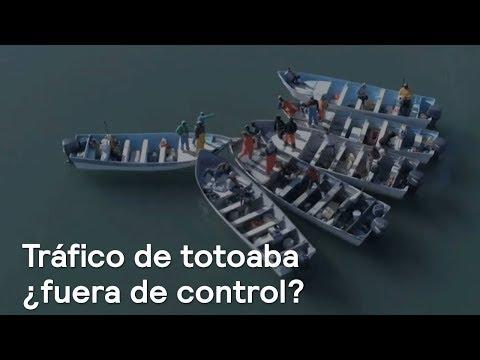 Traficantes de buche de totoaba incrementan actividad en el Alto Golfo - Despierta con Loret
