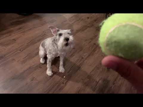 Molly the Miniature schnauzer plays fetch