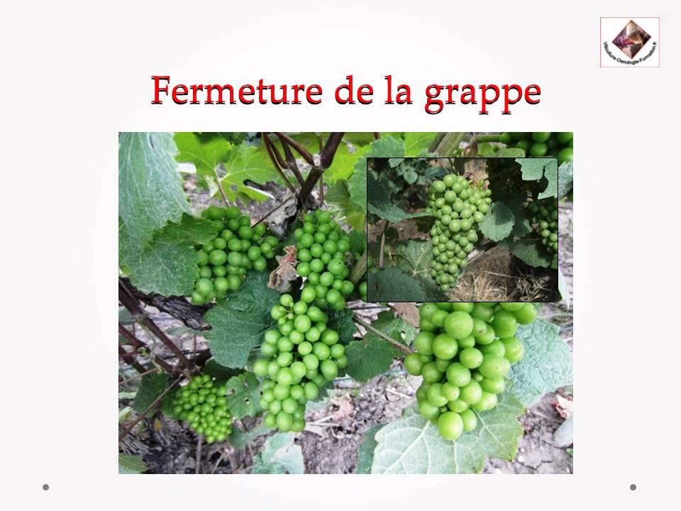 Cycle reproducteur de la vigne youtube - Parasite de la vigne ...