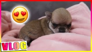 LES BEBES ONT OUVERT LES YEUX / Chihuahua Puppies