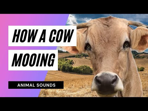The Animal Sounds: Cow Bellows - Sound Effect - Animation