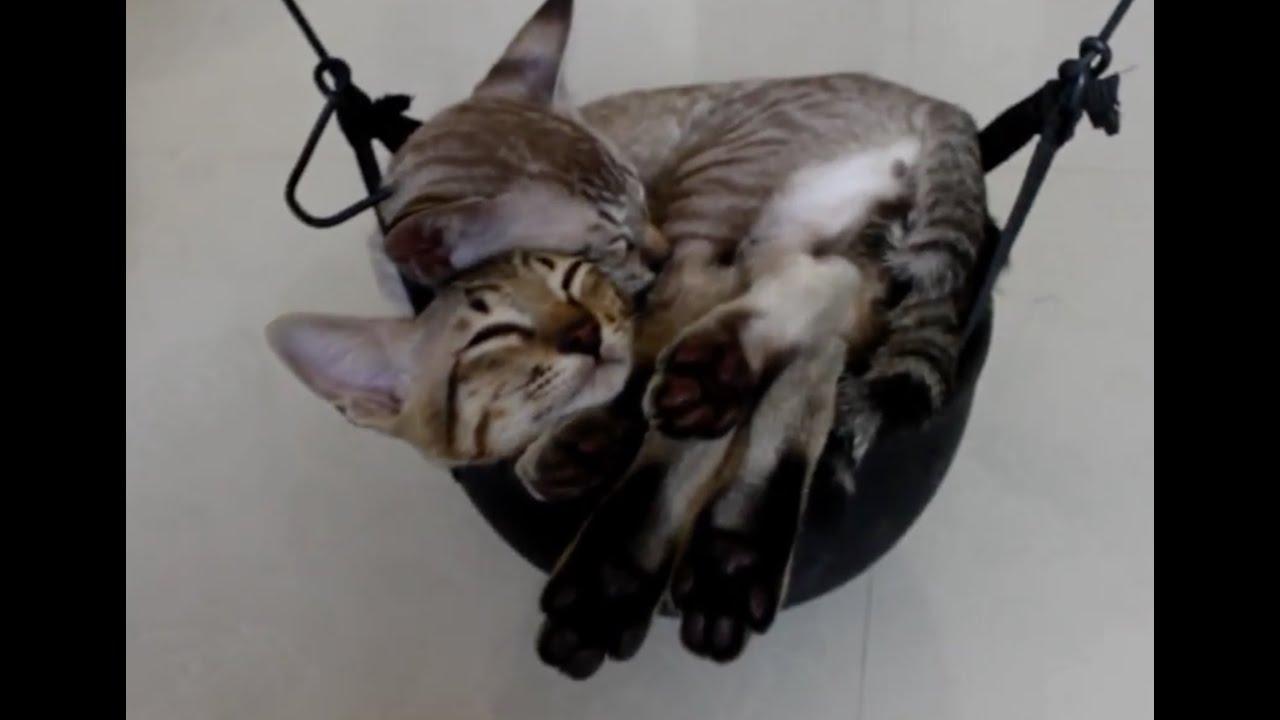 Cute Kittens Sleeping In Hammock
