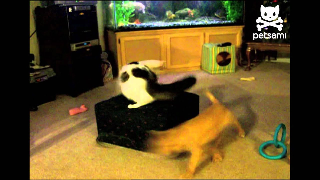 Cat Chases Dog On Leash