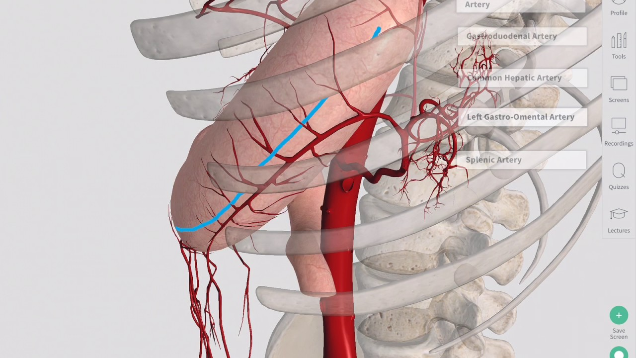 Blood Supply Of The Stomach Complete Anatomy Youtube