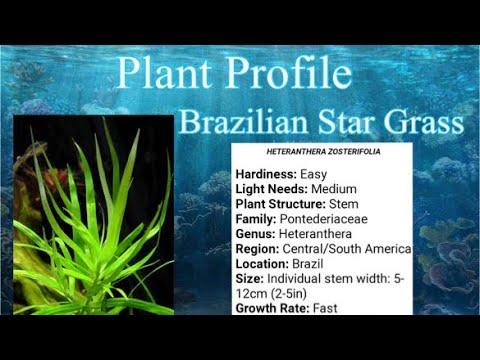 Brazilian Stargrass (Heteranthera Zosterifolia) Aquarium plant species profile