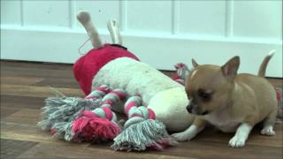 Chihuahua puppies for sale at www chihuahuaworlduk com  June 2012