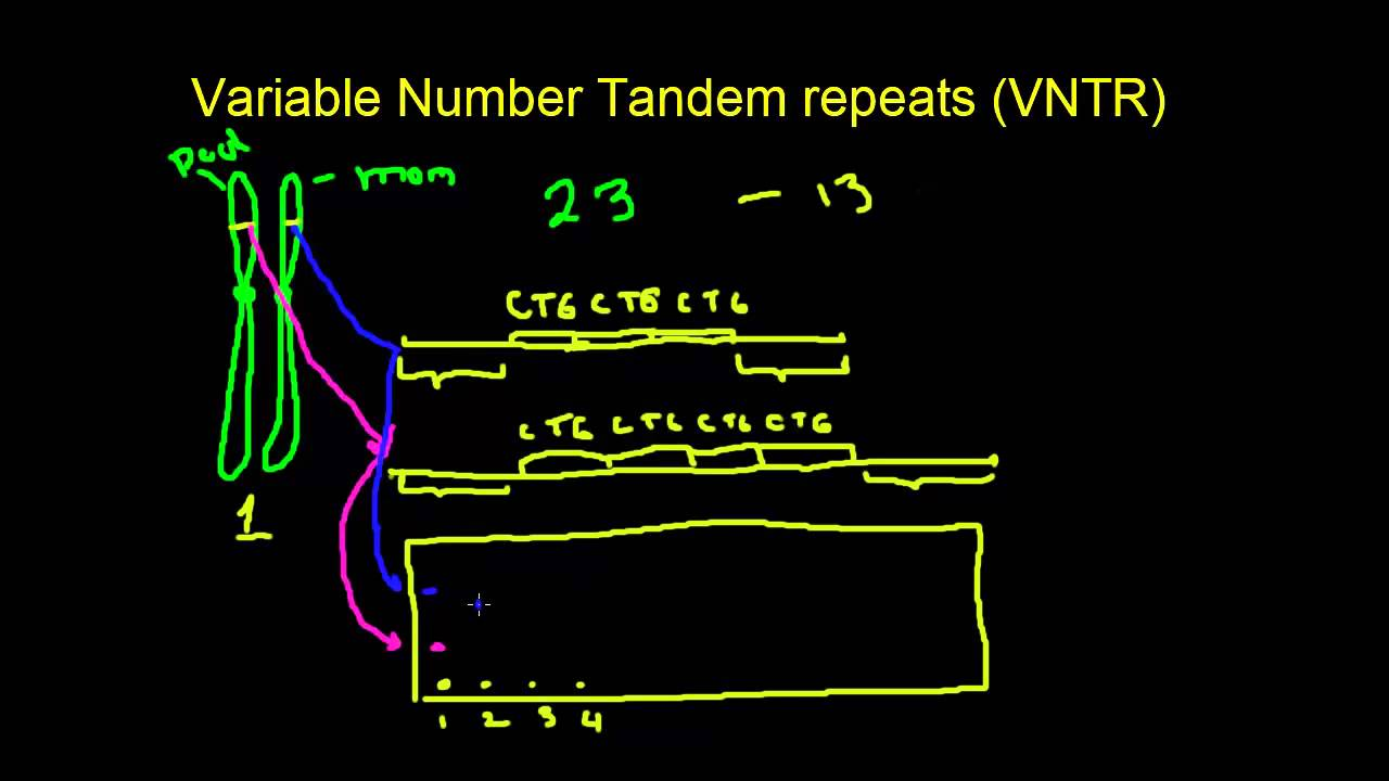 Variable number tandem repeats - YouTube