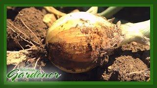 Onions | Volunteer Gardener