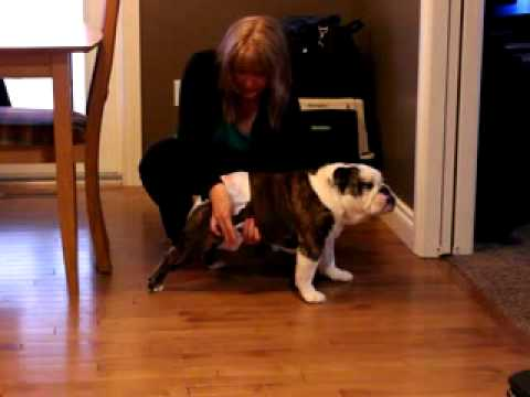 Luna The Bulldog And Her Diaper Dance Youtube