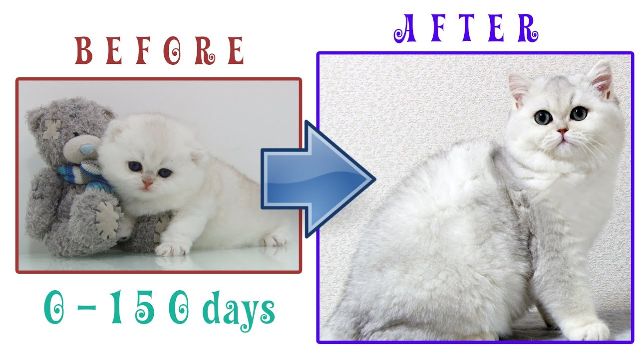 How kitten EVAN grows up: from 0 to 150 days | BEFORE & AFTER | British Shorthair Silver Shaded