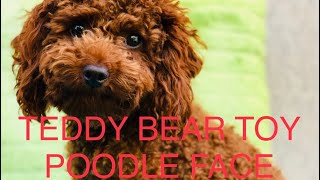 HOW TO TRIM TADDY BEAR TOY POODLE FACE. TEDDY BEAR FACE. DOG GROOMING. MY DOG GROOMING. DIY