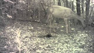 Doe Calls To Fawn Video