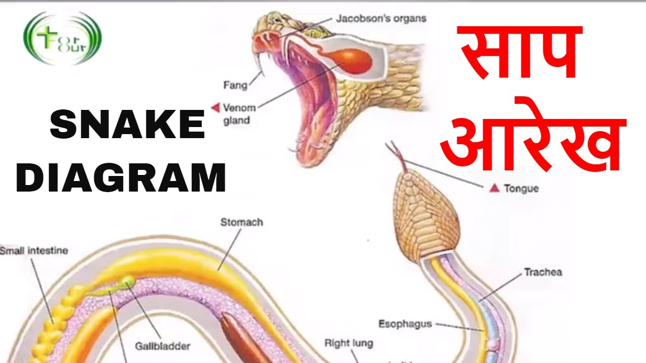 maxresdefault snake diagram सांप आरेख cloaca fact of snakes in[hindi