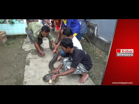 Ular Sepanjang 8 Meter Ditemukan Di Rumah Warga Plaju