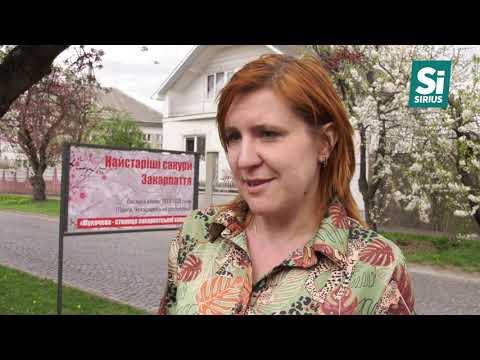 Понад 20 тисяч туристів приїдуть в Ужгород та Мукачево на цвітіння сакуртуристи сакури