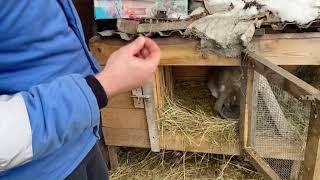 | кролики | содержание и кормление кроликов в зимний период | кролик в год быка