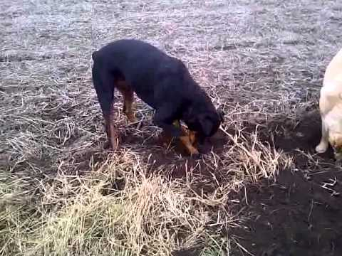 Rott and Lab mouse hunting