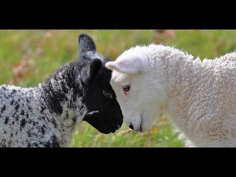 Meine Schafe und Ziegen im neuen Stall!