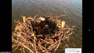 Chesapeake Conservancy Osprey Cam Nest From Tom And Audrey.