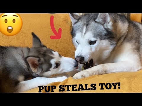 Brave Puppy Steals Angry Huskies Dog Toy In The Funniest Way! [HUSKY TANTRUM!]