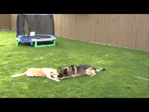 Meet Remi a Central Asian Shepherd Dog currently available for adoption at Petango.com! 7/11/2014 12