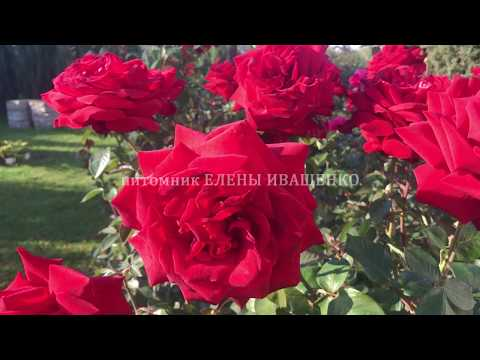 Цветение роз Супер Гранд Аморе, Эллен, Фламентанц, сорт №44, 45