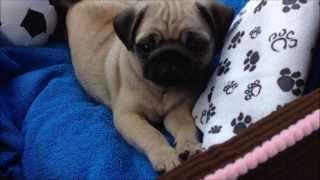 My New Pug Puppy!