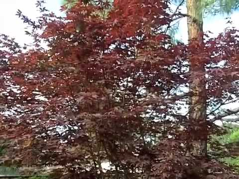 Acer Palmatum Emperor 1 Emperor 1 Japanese Maple Youtube