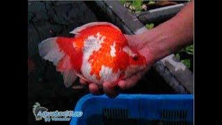 Шанхай, компания Tung Hoi - ферма золотых рыбок