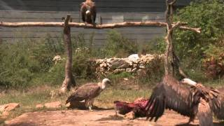 Croatian vultures under threat