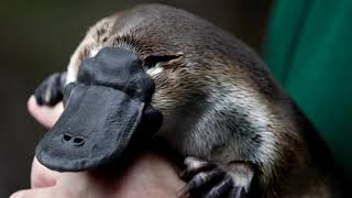 Drying habitat makes Australia's platypus vulnerable, scientists say