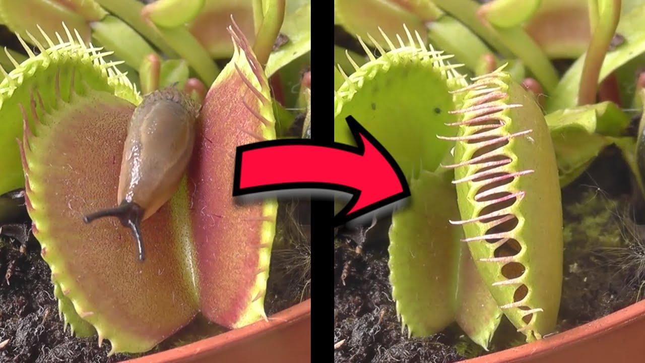 5 Húsevő Ragadozó Növény (Kegyetlen Csapdák)