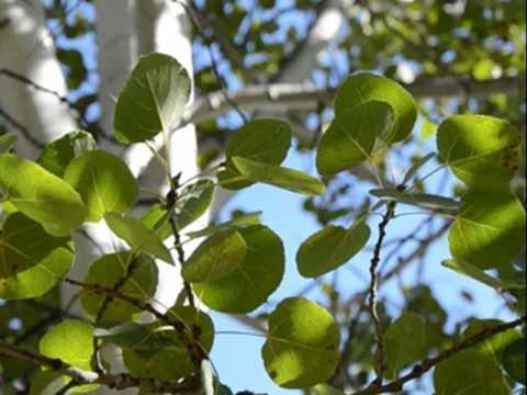 Как выглядит дерево осина (фото)?