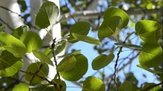 видео Описание дерева осина