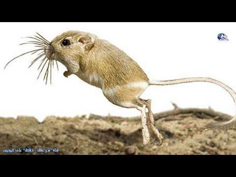حقائق مذهلة عن الفأر الكنغر  - الحيوان الذى لا يشرب الماء طيله حياته !