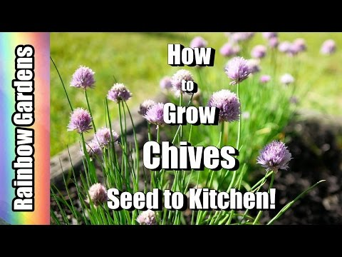 How to Grow Chives & Garlic Chives! 101 Seed to Kitchen,  Planting, Problems, Harvest, & Using!