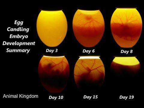 How To Check If An Egg Is Fertile Or Infertile In Hindi/Urdu  Egg Ko Kese Check Kia Jaye