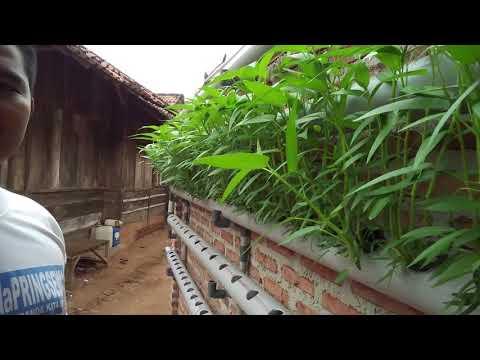 Sukses Budidaya Kangkung Hidroponik Sistem DFT di Pringsewu Lampung