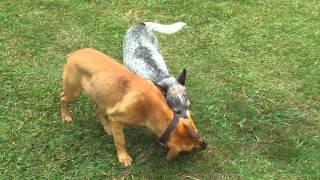 Bull Mastiff X Rottweiler Puppy Vs Australian Cattle Dog - 5 Months On!