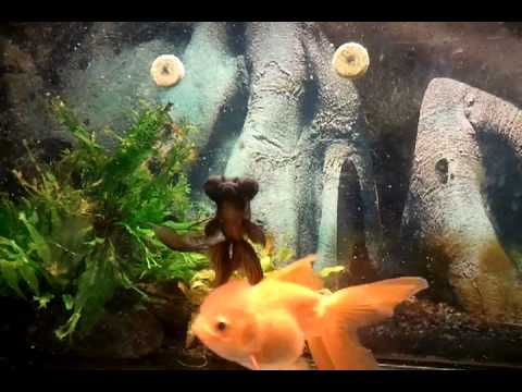Feeding goldfish | Aquariadise