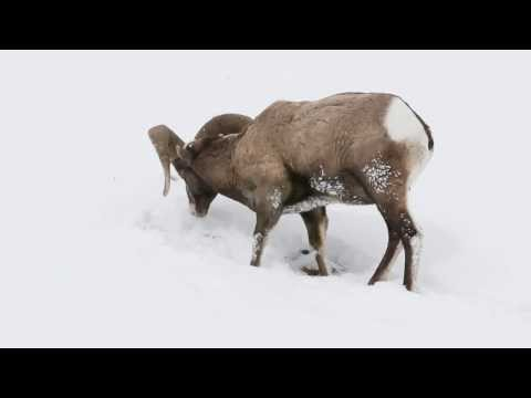 Bighorn Sheep foraging in snow