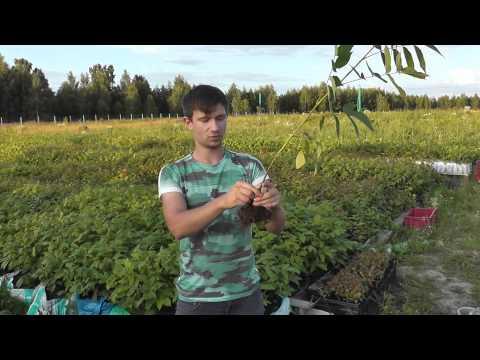 Как сделать настойку крапивы: мужской тоник для здоровья