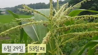 53일째 옥수수 수정 | 텃밭 수업 | 꿀벌 소리 | …