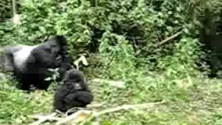 Largest silverback gorilla - Rwanda