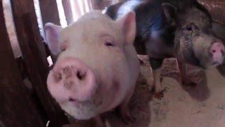 Замена пола у свиней // Из города в деревню.